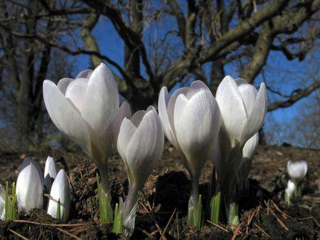four blooming crocuses photo