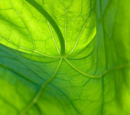 Nasturtium blad, gedetailleerde