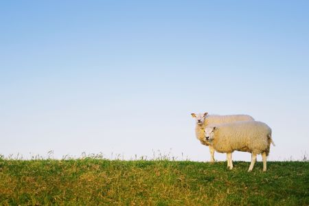 in twos: two sheep standing