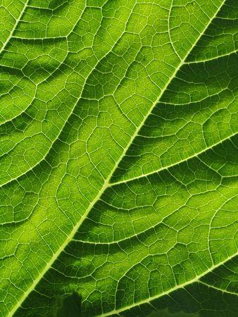 cymbling: leaf of cymbling in locking light