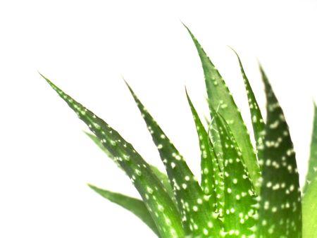 loe: aloe vera leaves, detailed on white background Stock Photo