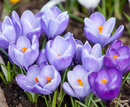 close up shot of blooming crocuses - spring flowers close up photo