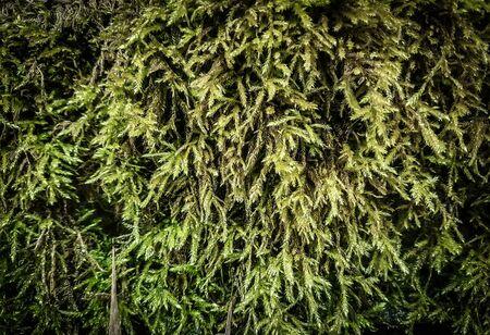 gros plan.un fragment de terre recouvert de lichen. fond naturel