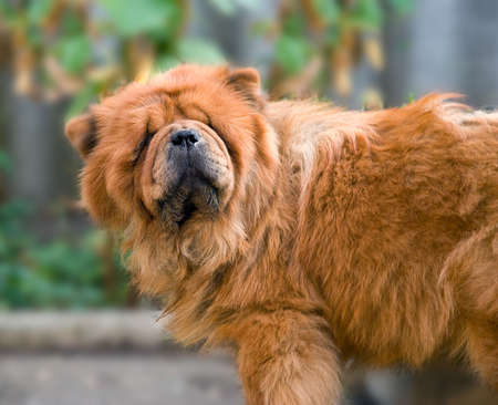 The dog of breed  Chow-chow  poses in front of the camera