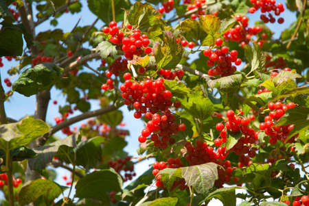 Berries a high cranberry are photographed close-up