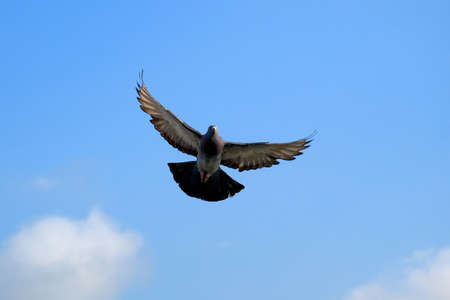The pigeon in flight on a background of the blue sky