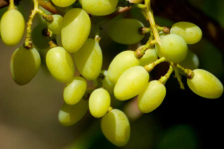 ccloseup: Bunch of grapes is photographed on the cclose-up Stock Photo