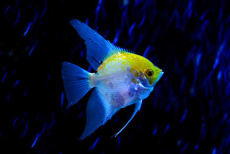 The yellow-blue fish is photographed close-up Stock Photo