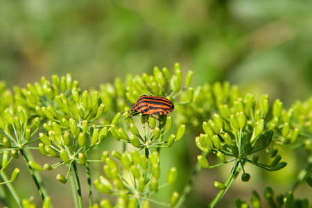 Black-red striped beetle is sitting on the dill Stock Photo - 14393855