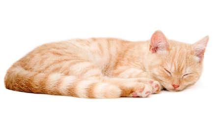muck: The red kitten of muck Scottish straight Stock Photo