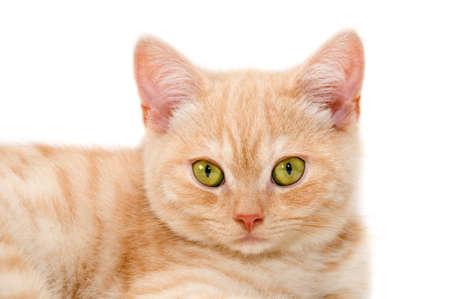scottish straight: The red kitten of purebred a Scottish straight Stock Photo