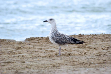 seacoast: The seagull stands on sand on seacoast