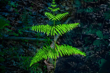 Branch of a fern lit by the sun in the shady wood Фото со стока