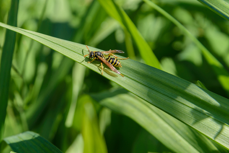 Wasp crawling on a green leaf