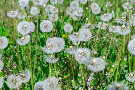 A lot of dandelions growing in the meadow Фото со стока