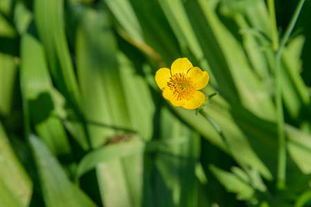 Flower of the Buttercup acrid photographed on a background of green grass