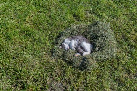 Grey cat sleeping in a nest of mown grass