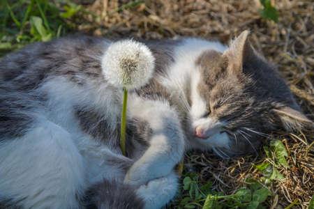 The gray cat sleeps embracing a dandelion Фото со стока