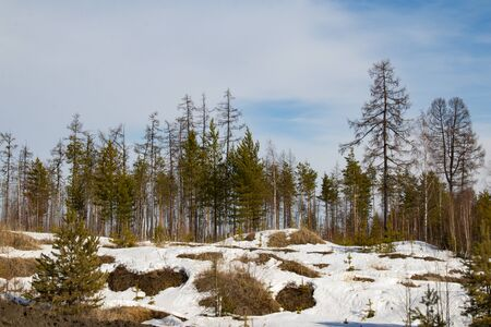 Beautiful spring forest landscape. Thawed land, trees, blue sky, melting snow