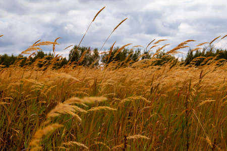 On the field before the storm. View from the yellowed grass of a large meadow to the gloomy pre-storm sky