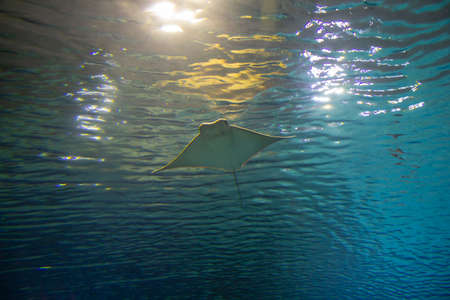 The stingray soars in the depths of water. A large stingray fish swims in the deep sea