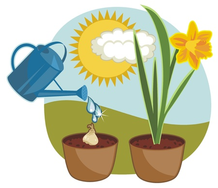 photosynthesis: Seasonal indoor growing daffodil with outdoor background Illustration