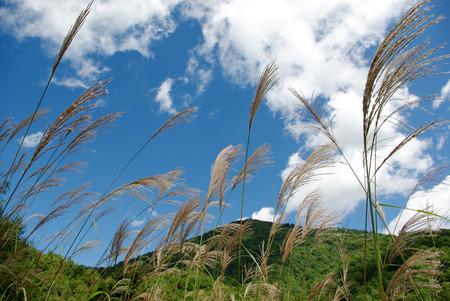 pampas: Summer mountains and pampas grass