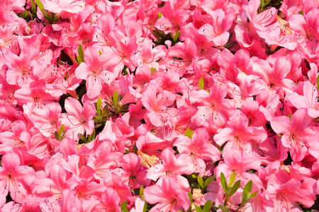 full bloom: pink azalea in full bloom