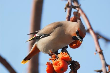 Uccello su un ramo in un frutteto di mele