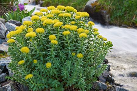 katun: The texture of the leaves and flowers Rhodiola rosea, Russia, Siberia, Altai mountains, Katun ridge. Stock Photo