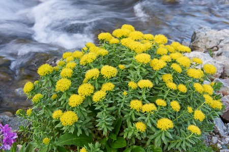 The texture of the leaves and flowers Rhodiola rosea, Russia, Siberia, Altai mountains, Katun ridge. Stockfoto