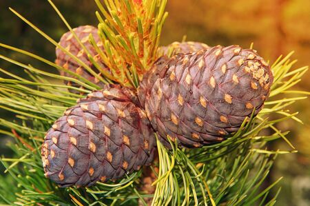 Russia Gorny Altai. Cedar branch with cones in the autumn taiga forest, not far from Belukha Mountain. Standard-Bild