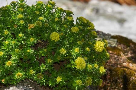 The texture of the leaves and flowers Rhodiola rosea, Russia, Siberia, Altai mountains, Katun ridge. Standard-Bild
