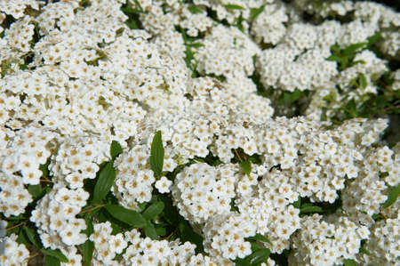 Gray Spirea plants are hardy, deciduous-leaved shrubs. Spring flowers in the Botanical Garden of the Crimean.