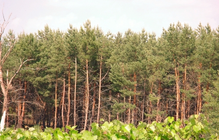 pine pine forest
