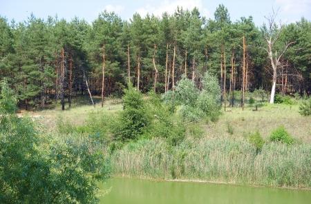 pine pine forest
