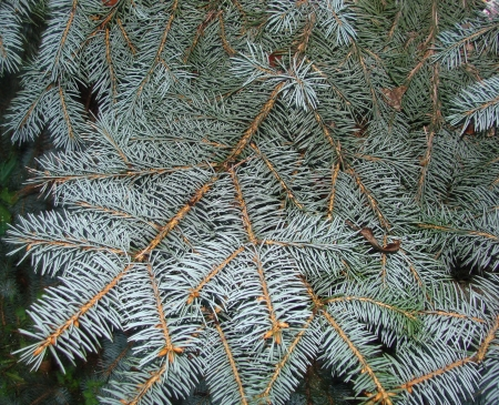 Paw of a blue spruce  Stock Photo