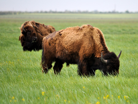 european: European bison wallpaper