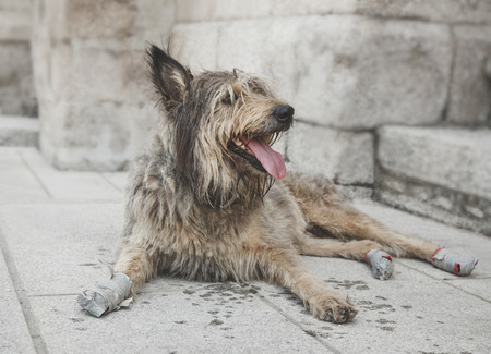 whacked: Funny dog traveler damaged paws. Stray dog resting in the street. Homeless dog