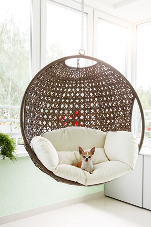 toyterrier: Cute toy-terrier resting in a hanging rattan chair on the balcony of the apartment. Dog sitting in a chair on the terrace