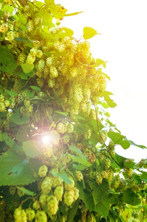 Wild hops. Branches and leaves. sunlight. light toning