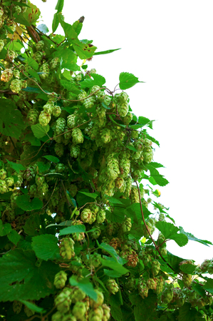 Wild hops. Isolated composition on white background Stok Fotoğraf