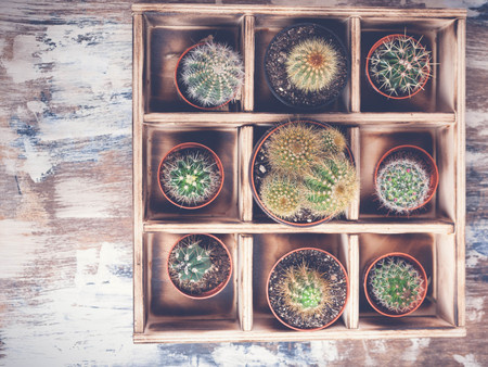Cacti in wooden box. Photo of various types of cacti. Image toning. Top view