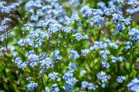 Forget-me-not flowers on the sunny lawn. Summer background. Selective focus.