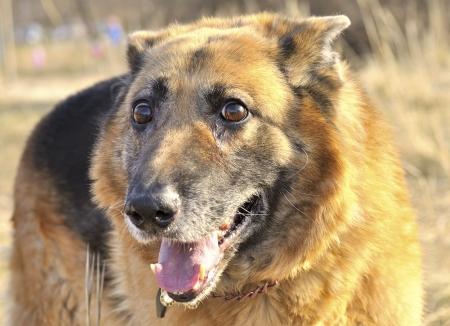 German shepherd smiling portrait photo
