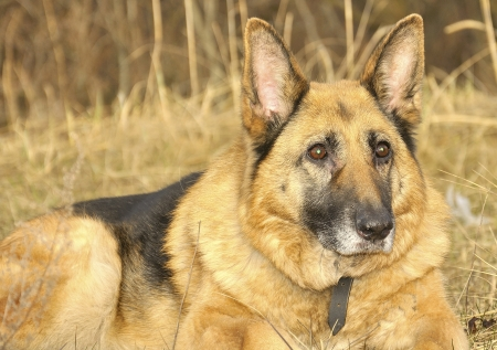 German shepherd portrait on the dry grass photo