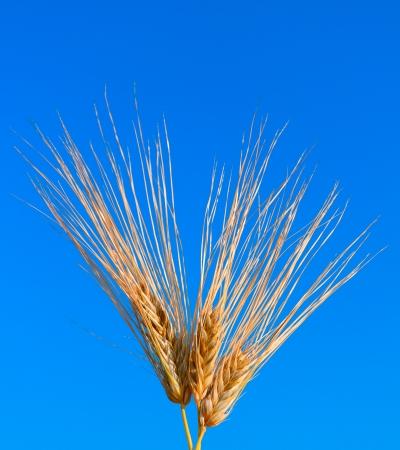 macro shot of three ear of wheat over blue sky photo
