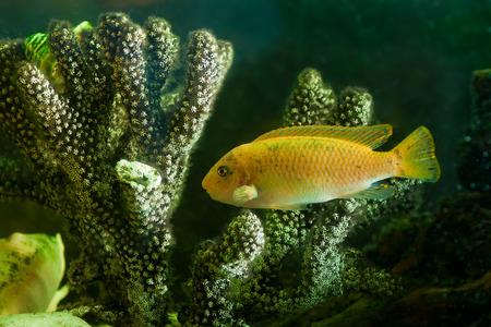 an yellow aquarium fish portrait  near corals. photo