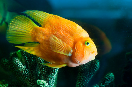 an yellow aquarium fish portrait  near corals. photo