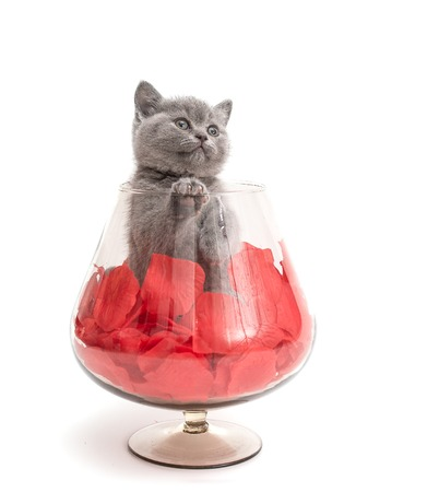 Adorable british little kitten posing in a big glass with rose petals photo